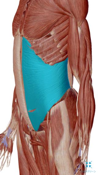 慢性腰痛の原因は腹横筋が弱い